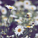 Naturkosmetik mit Gänseblümchen: 3 Rezepte