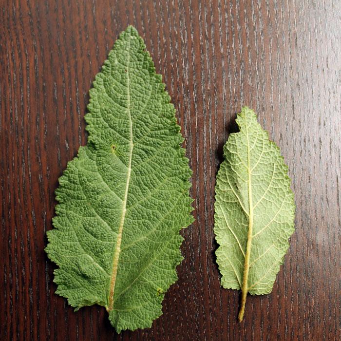 Wiesensalbei-Blätter