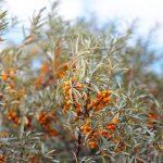 Sanddorn – Die wilde Zitrone des Nordens
