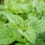 Die Brennnessel – Verwendung der unterschiedlichen Pflanzenteile