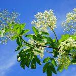 Welche Pflanzen lohnt es sich im Mai zu sammeln? Teil 3