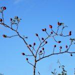 Hagebutten – Unterschiede, Erntezeit, Inhaltsstoffe und Verarbeitung