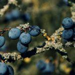 Schlehenfrüchte – Erkennung, Inhaltsstoffe, Wirkung und Verwendung
