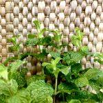 Pfefferminze – Inhaltsstoffe und Wirkung des beliebten, aromatischen Krauts